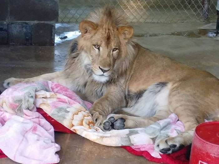 rescued african lion sleeping with blanket 8
