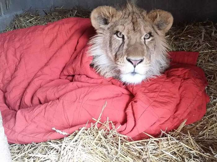rescued african lion sleeping with blanket 9
